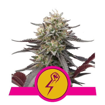 Green Crack Punch Feminized - Royal Queen Seeds