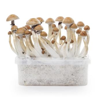 Magic Mushrooms Grow Kit 'Cambodian' 1200 cc