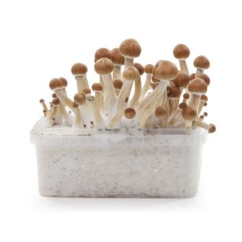 Magic Mushrooms Grow Kit 'Colombian' 1200 cc