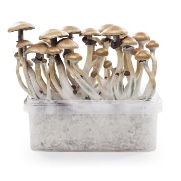 Magic Mushrooms Grow Kit 'Golden Teacher' 1200 cc
