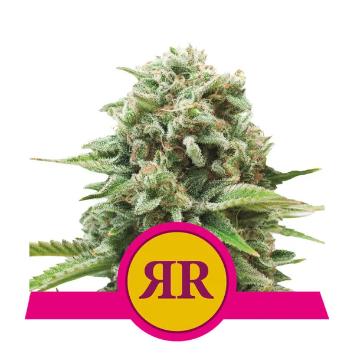 Royal Runtz Feminized - Royal Queen Seeds